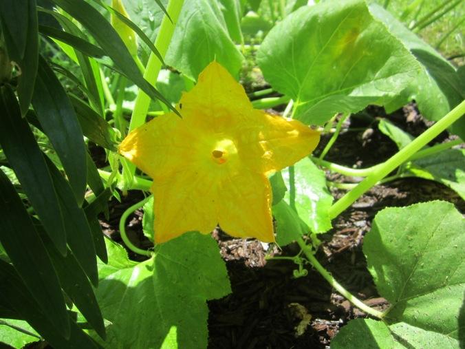 gourd blossom 4
