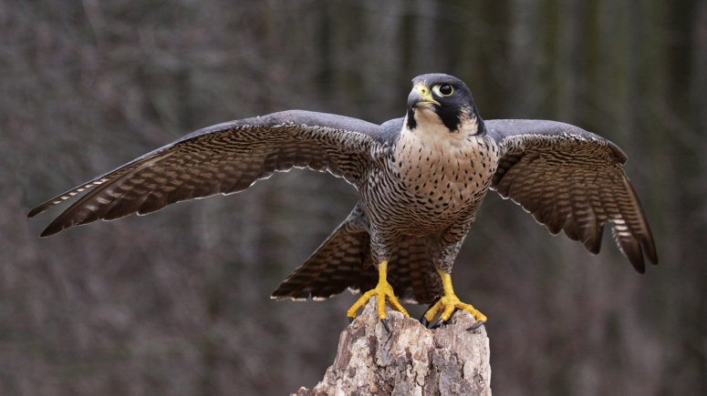 peregrine-falcon-wings-extended nat geo credit